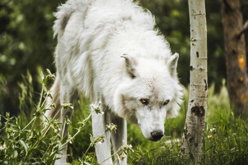 Der Hexer Wolf